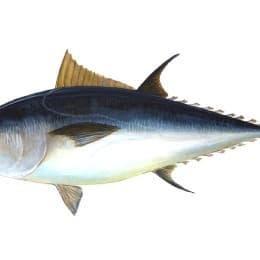 藍鰭吞拿魚