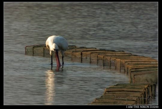 路氹環境的污染問題日益嚴重,使原本可見到的數十種鳥類,銳減至只僅餘數種。(圖片由小喬媽媽提供)