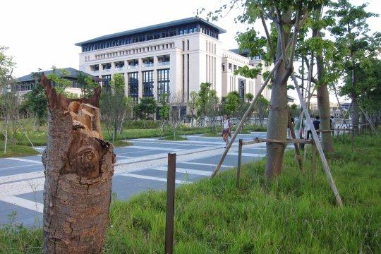 澳大橫琴校區不少新移植的樹都出現「腰折」的情況。