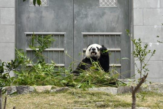 一個人過情人節的還有熊貓館裡的「開開」,但看它的表情就知道活得快樂自在最重要。~