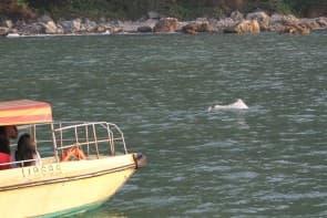 由海洋公園救援的受傷海豚WL212,已於2月10日早上9時死亡,為「救援行動」添加一失敗案例。(圖:香港海豚保育學會臉書專頁)
