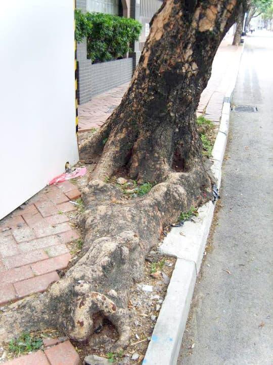 (圖二)九龍塘區內有不少生長空間狹窄的大樹,並間中出現倒塌的情況