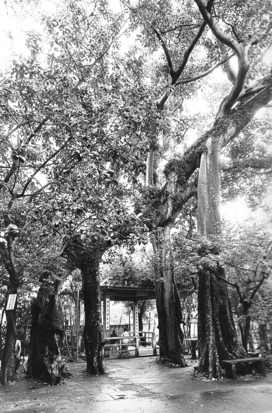 觀音堂的連理樹(Photo credit by 李超宏《逝水年華》)