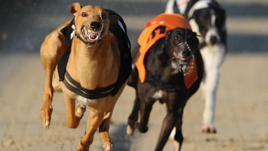 BRIGHTON, ENGLAND - MARCH 23: Parkwest Leo (L) in action in the 6th race at the Brighton and Hove Greyhound Stadium on March 23, 2011 in Brighton, England. (Photo by Mike Hewitt/Getty Images) *** Local Caption *** Parkwest Leo