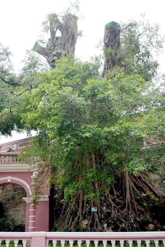 民署回覆查詢時澄清沒有「斬樹」,只是「修剪」了一棵附在牆上的榕樹樹冠