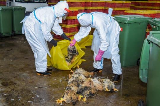 政府昨晚宣布停售活雞後,民署人員隨即在南粵批發市場銷毀萬五隻活雞。