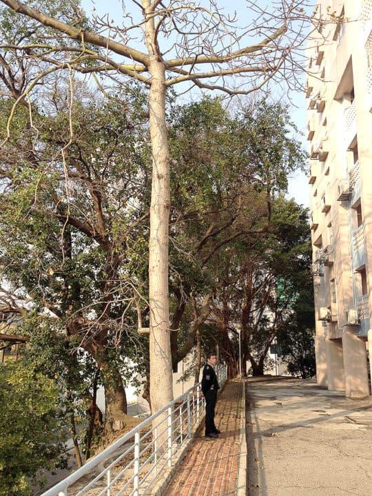 前員工宿舍前的斜坡是很多大樹
