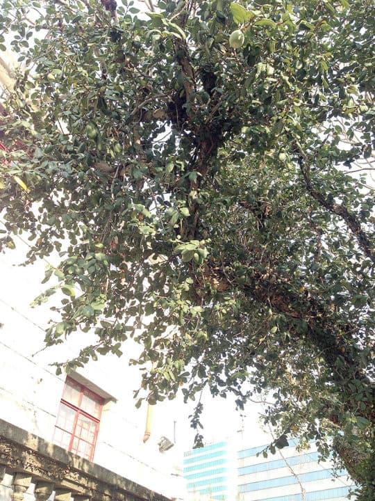 雞蛋花樹上寄生了,結出可愛的果子