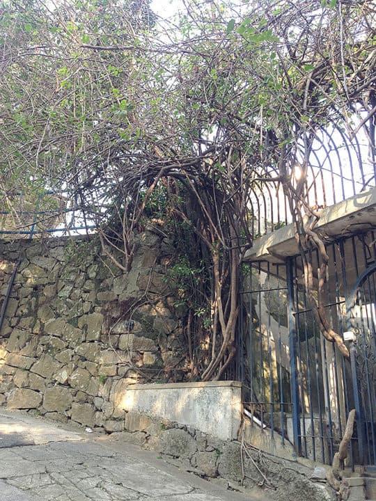 難得一見的大棵石牆樹