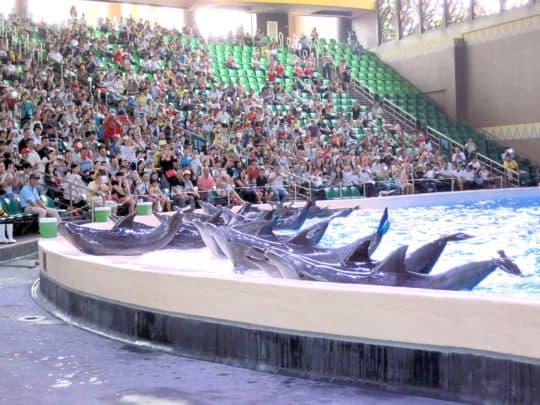 在大海中瓶鼻海豚很少做出將自己擱淺在岸邊、壓迫胸腹部又可能有生命危險的行為,但是在表演場館經常一日數次表演這項討好觀眾的動作。(圖片提供:黑潮海洋文教基金會 蔡偉立 )