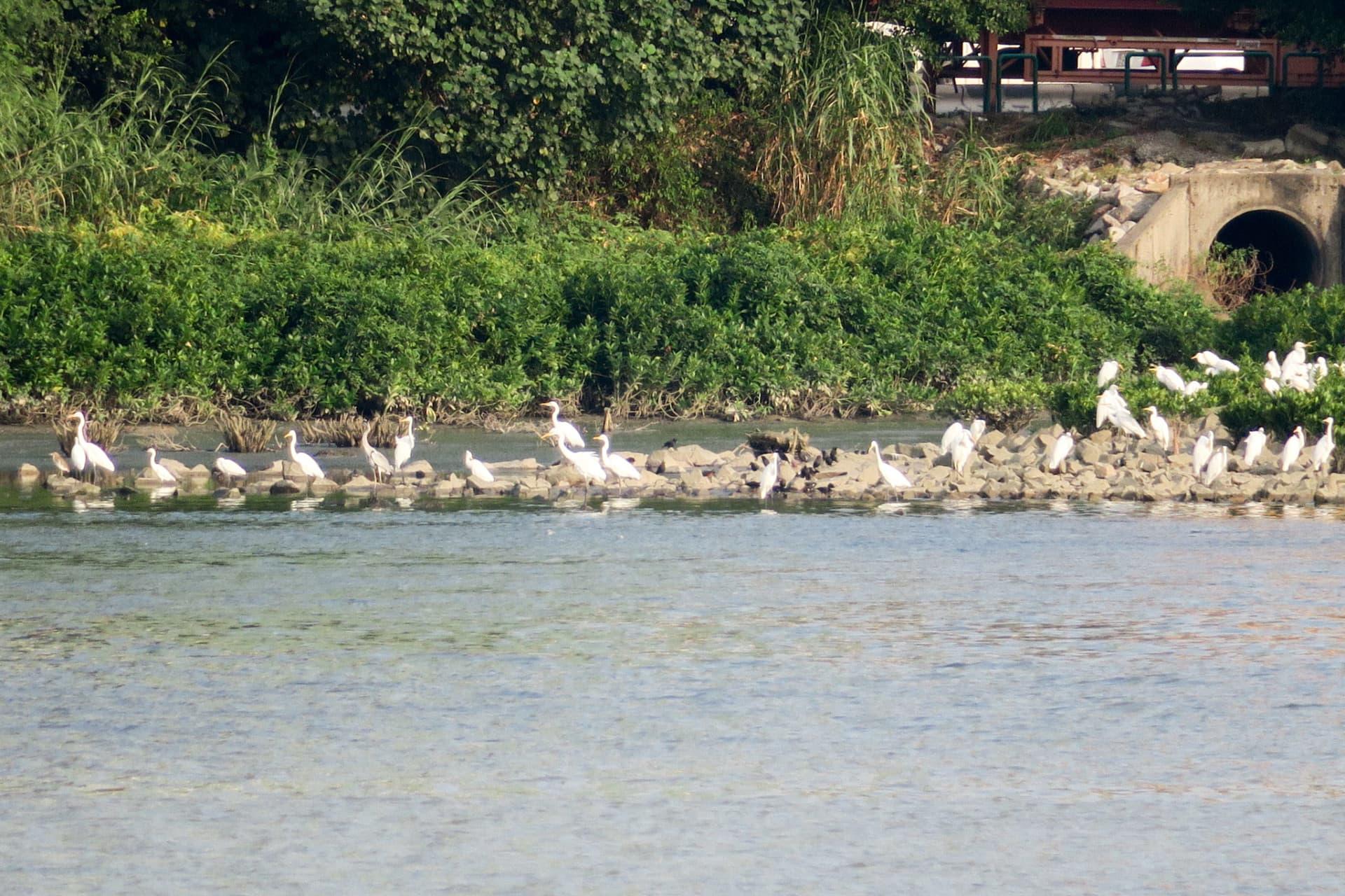 不少候鳥轉往路氹城生態保護區棲息