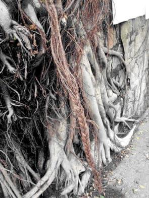 2. 石牆上有老樹盤根