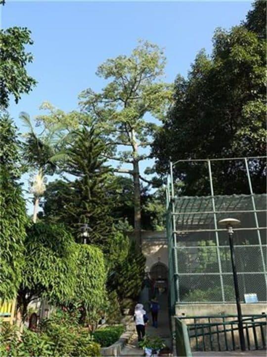 被移除之木棉樹位於二龍喉公園 (圖片:民政總署網頁)