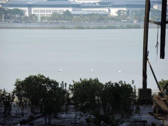 荔枝碗對開水域的濕地不乏鷺鳥棲息。