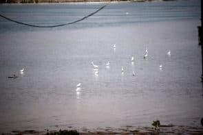 荔枝碗船廠一帶有不少雀鳥覓食棲息。