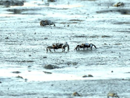 招潮蟹成為泥灘上的霸主。(黃志龍 攝)