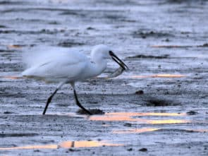 泥灘成為小白鷺的覓食地點。(黃志龍 攝)