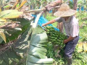 香蕉樹是農場的原居民。