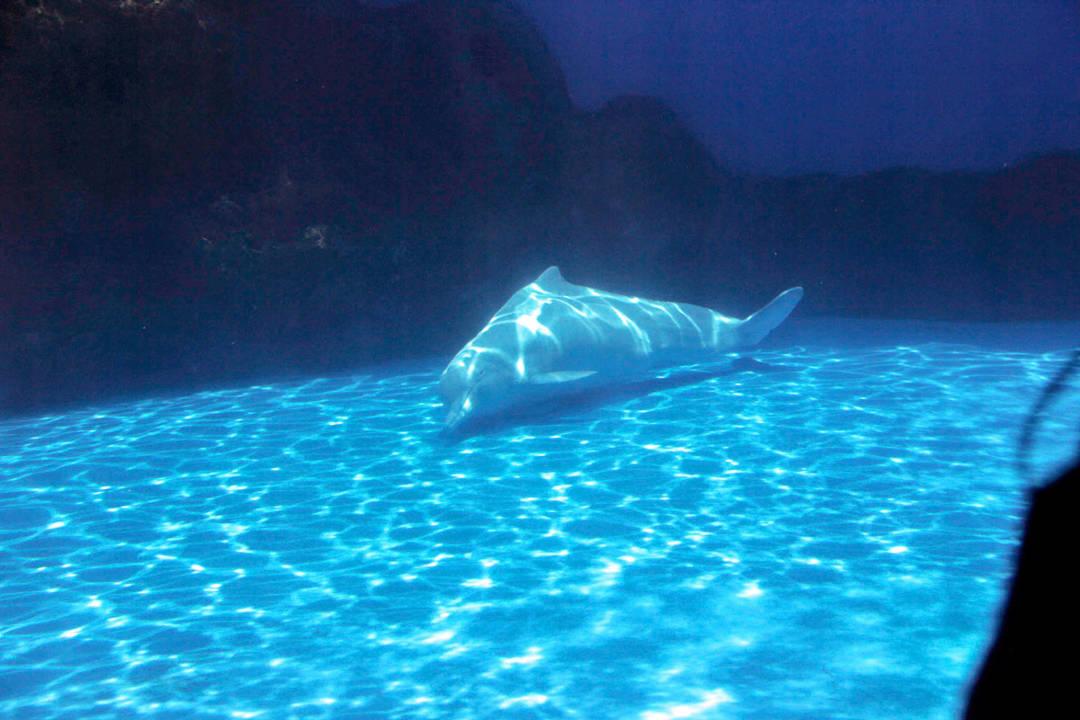 水族館裡的白海豚出現的刻板行為。