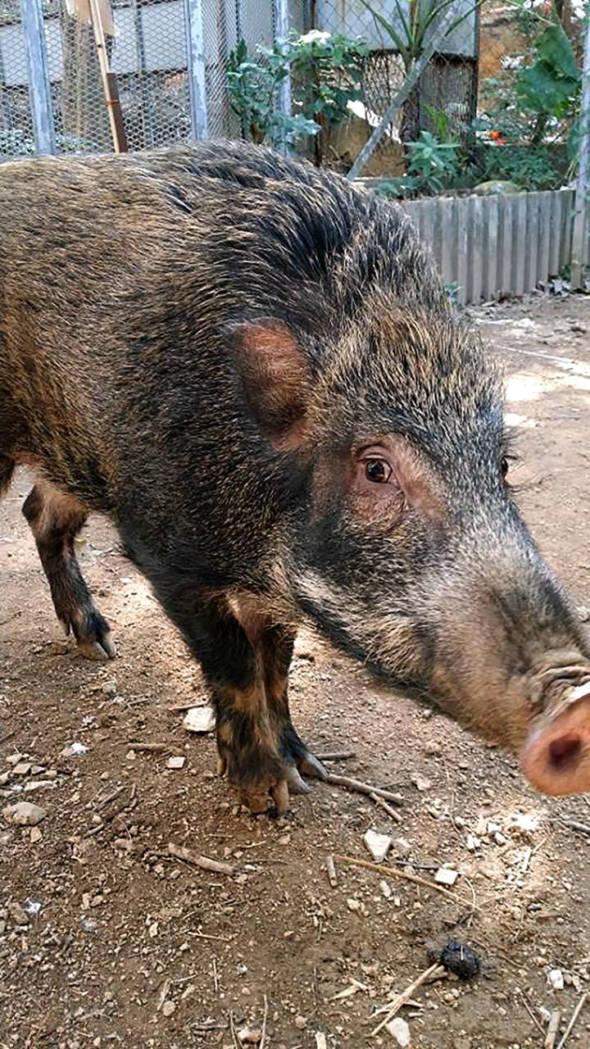 動物團體對於香港政府投入資源在野豬保育工作,應該樂見其成。但在討論過程中,亦有人提出不同意見,這些論述指出,野豬是野生動物,本應生活在叢林山野間,好好的,人類為何要干涉牠們繁衍續後?