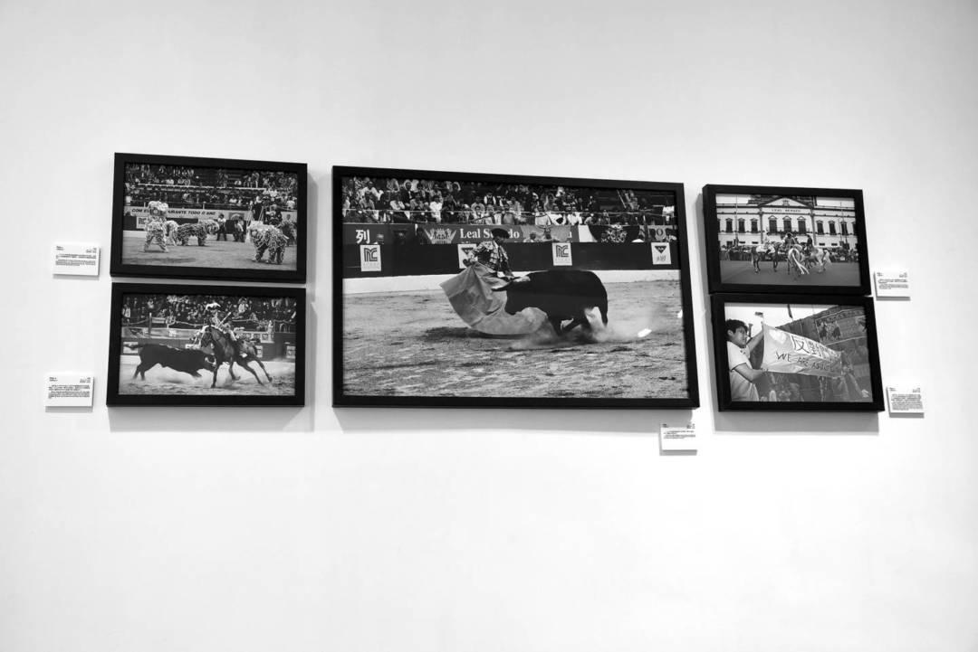 「這是葡式鬥牛,跟西班牛鬥牛有別, 它不殺牛。」但牛隻始終難免受傷。