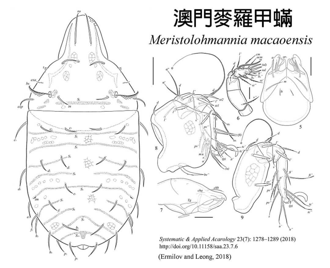 台灣大學的昆蟲學者梁志文已經在它的土壤層發現了兩個新物種,去年的澳門細蟻和剛剛宣布的澳門麥羅甲蟎(圖)。