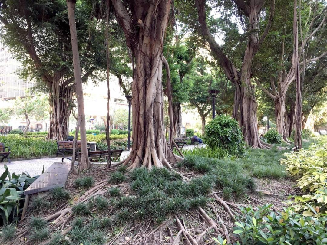 宋玉生公園的榕樹經歷多次風災後依然蔥鬱。