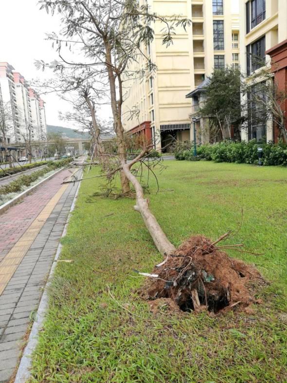 倒塌樹木的根部還有塑膠包裝。