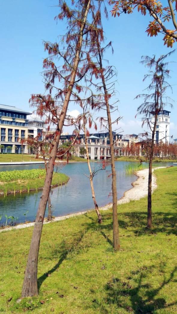 校園裡的樹木在颱風後呈現枯黃景像。