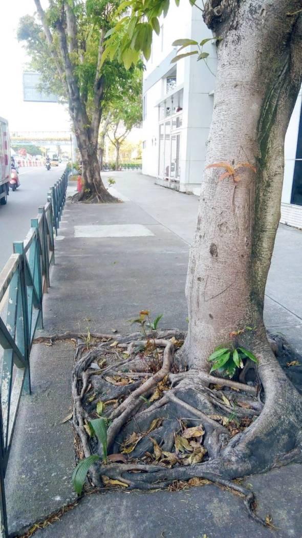 馬場北大馬路上這幾棵大樹根部被混凝土箍住。