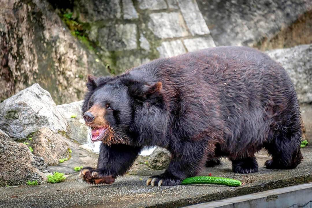 民署表示,將把二龍喉黑熊Bobo的遺體製成標本。