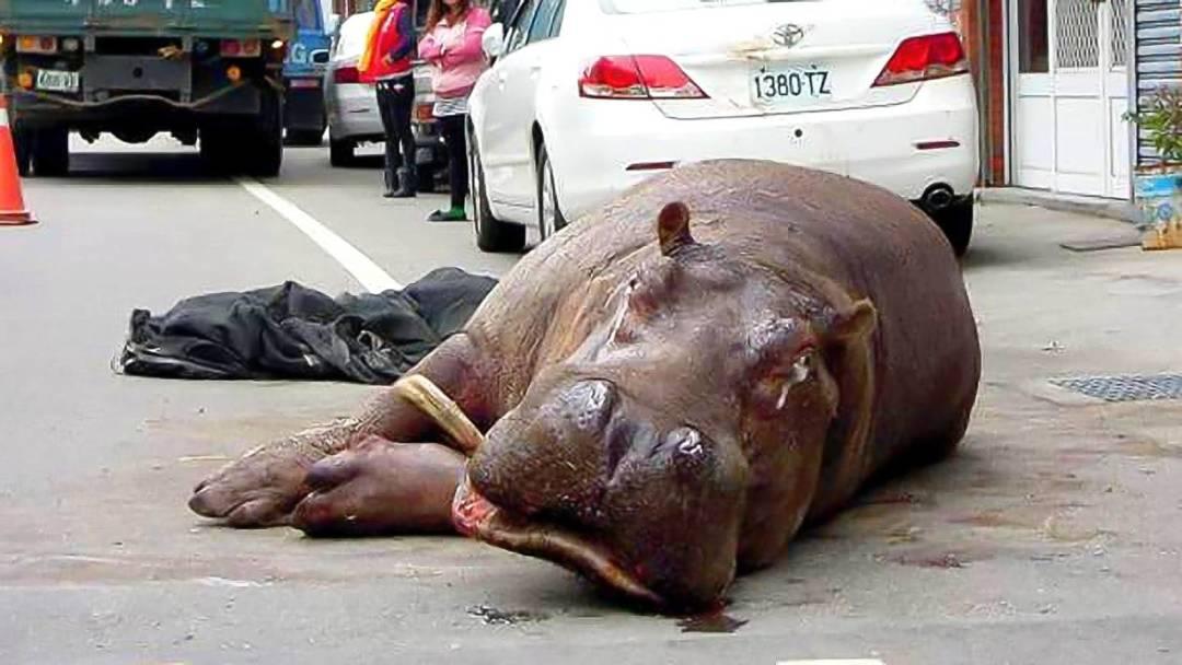2014年12月,台灣河馬「阿河」在運送過程中經過兩次重摔,之後不幸暴斃,引發民間反思圈養動物的倫理道德。