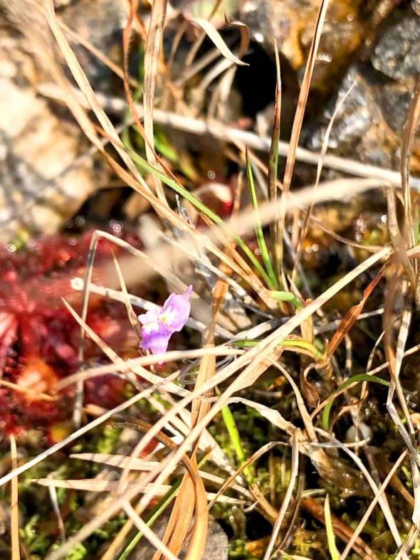 長距狸藻。種在澳比較少見嘅狸藻,又叫短梗挖耳草、藍挖耳草、密花狸藻,形態特徵與兩裂狸藻非常相似,生境大致相同,故兩者經常混生在一起。