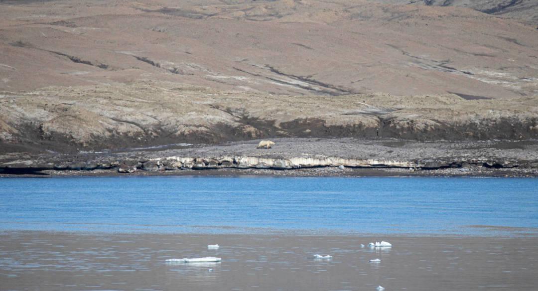 北極熊沿岸覓食。