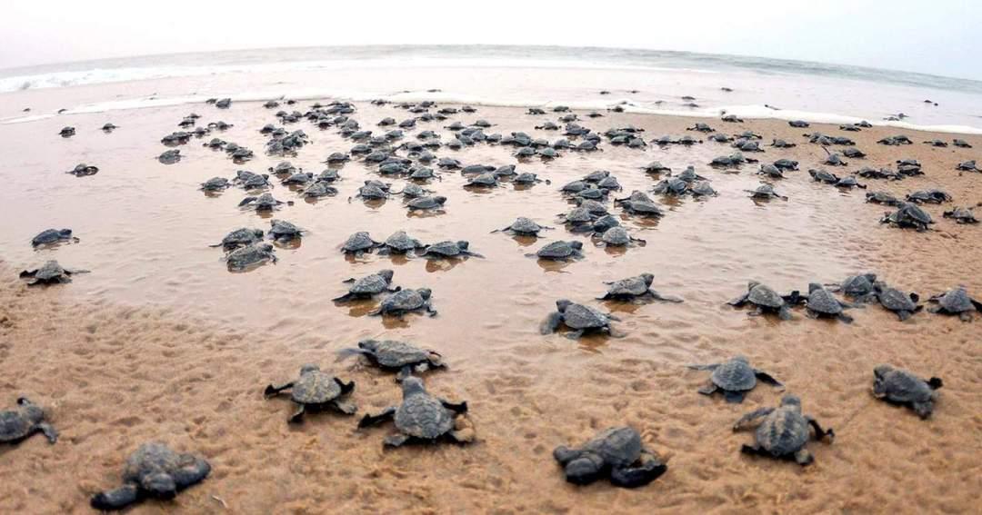 瀕臨滅絕的欖蠵龜突然成群結隊出現在印度東部瑞西庫利亞(Rushikulya)海灘。