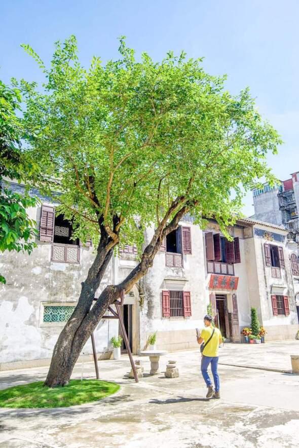 位於鄭家大屋的古桑樹。相片來源:新聞局