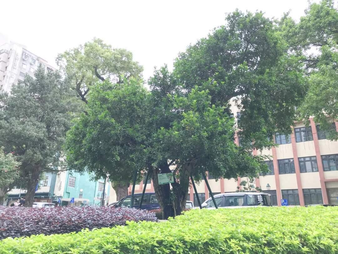 加思欄花園的九里香古樹,是本地該品種的古樹中最老,樹齡逾180年。九里香繁花茂密,很適合庭園栽種。其枝葉也可入藥,外用可治牙痛、跌撲腫痛、蟲蛇咬傷等。
