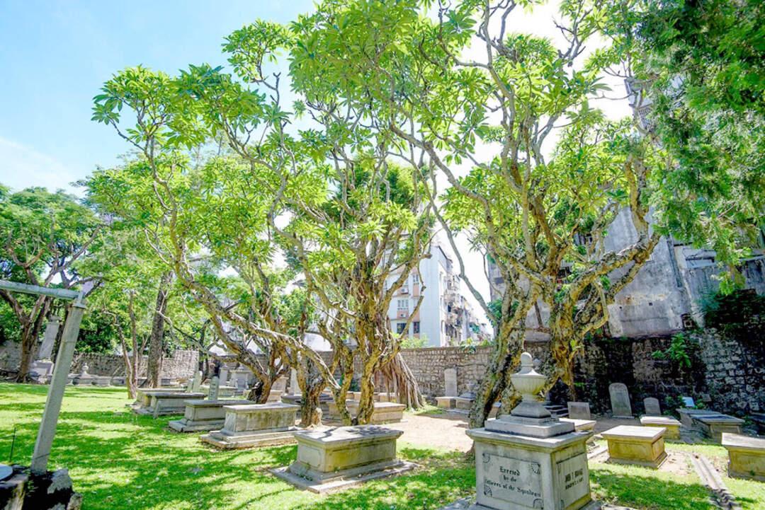 澳門基督教教堂及墓地的雞婆花古樹最多,共12株。相片來源:新聞局