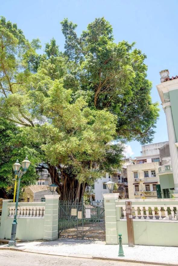 位於崗頂劇院的古榕樹。相片來源:新聞局