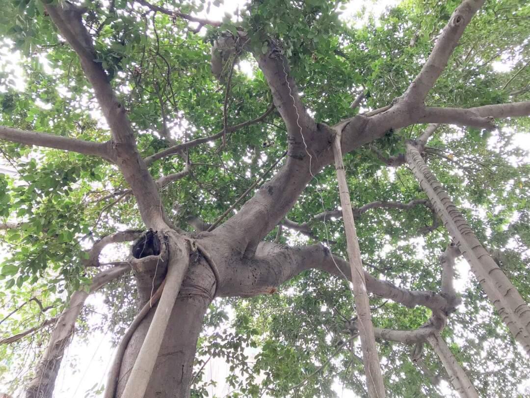 澳門最古老的高山榕位於觀音堂。